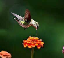 Hummingbird Bullseye by Christina Rollo