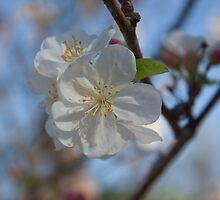 White CrabApple Blossoms by Kelley Shannon