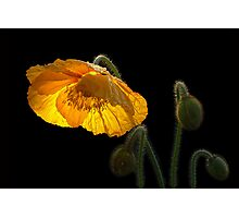 Glowing Poppy Photographic Print