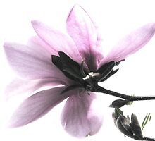 Japanese Magnolia Blossom by AngieDavies