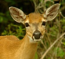 Key Deer by Larry  Grayam