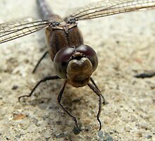 Dragonfly by stevealder