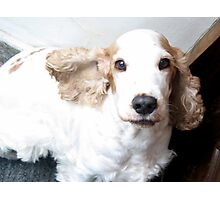 Well-trained English Cocker Spaniel Photographic Print