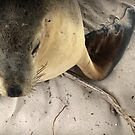 Portrait of a Seal by LeapingPig