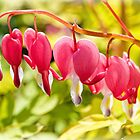 Bleeding Hearts by Susie Peek