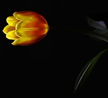Light of the Tulip by BecsPerspective