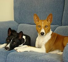 Well-trained Basenji