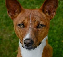Well-trained Basenji by welovethedogs