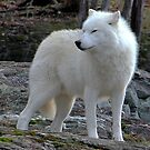 Arctic Wolf on the alert. by vette