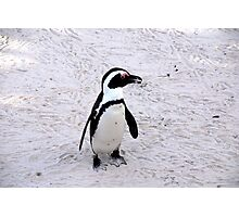 Safari - Penguin Photographic Print