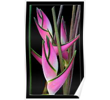 "Heliconia orthotricha 'Eden Pink"" Poster"