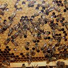 Busy Honeybees by Molly  Kinsey