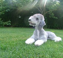 Special Bedlington Terrier by welovethedogs