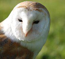 Barn Owl by stewarty