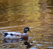 Stirling Duck - The luckiest kind of duck by Nadene Murray