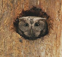 Hoot in a hole by Heather King