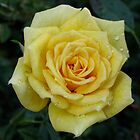 Yellow Rose 1 by LNara