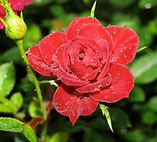 Red Rose 2 by LNara