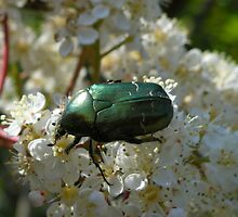Cockchafer or Melolontha melolonta. by annalisa bianchetti