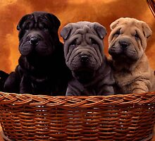 Beautiful Shar Pei
