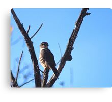 Brooklyn Falcon  Canvas Print