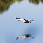 Low Flying Pelican, Bibra Lake, Cockburn, W.A. by Sandra Chung