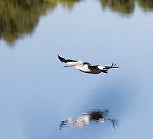 Low Flying Pelican, Bibra Lake, Cockburn, W.A. by Sandra Chung