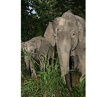 Borneo's Pygmy Elephants Photographic Print