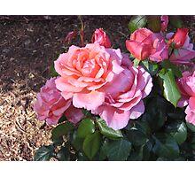"""Sweet Fragrance"" Rose Photographic Print"