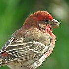 House Finch by lorilee