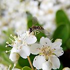 Hoverfly by Sandra  Aguirre