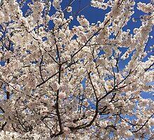 Spring Cherry Blossom by Nippyfish
