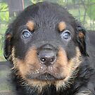 Beautiful Boy - Rottweiler Puppy by taiche
