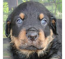 Beautiful Boy - Rottweiler Puppy Photographic Print