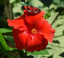 Butterfly on Hibiscus  by richardbryce