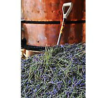 Lavender harvest Photographic Print