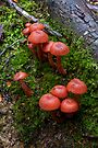 Hygrocybe miniata by Travis Easton