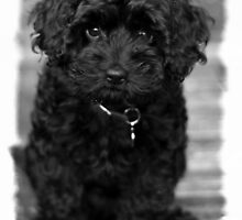 Well-trained Cavoodle by welovethedogs