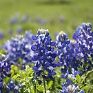 Bluebonnets of Texas by Lee Anne Kortus
