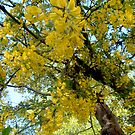 My ancient Laburnum by hilarydougill