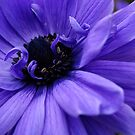 Spring - Anemone by rabeeker
