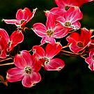 Dogwood Blossoms by Sandy Keeton