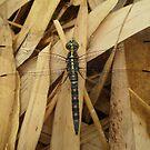 Dragonfly by Kristen Joy Tunney