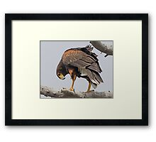 050209 Harris Hawk Framed Print