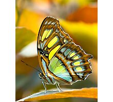 malachite butterfly Photographic Print