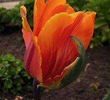 Orange Tulip by tonymm6491