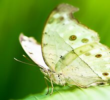 indian moon moth butterfly by peterwey