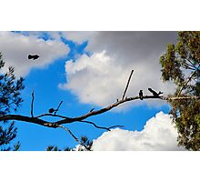 Apostle Birds Photographic Print