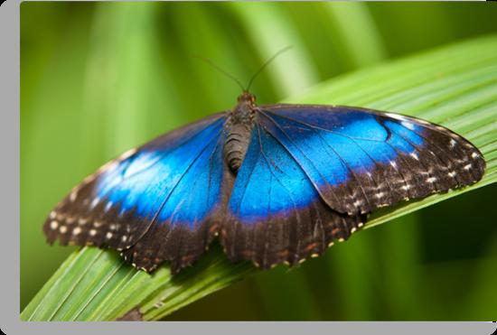 blue morpho butterfly by peterwey