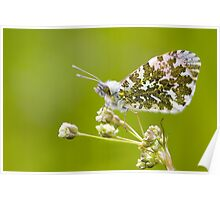Male Orange-tip Butterfly Poster